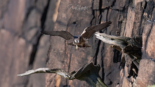 Peregrine Falcon - Falco peregrinus | 2018 - 5