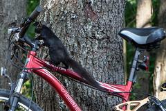 I Got This! (Conrad Kuiper) Tags: canon 18135mm 7dmkii bicycle squirrel