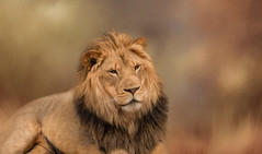 Panthera Leo (Sandyp.com) Tags: lion pantheraleo wildlife cat oaklandzoo sonyrx10iv topazsoftware texturedbackground