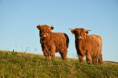 Les deux font la paire (juliecarmen.fahy) Tags: scotland argyll kintyre ecosse cows coos highland cattle young calf calves