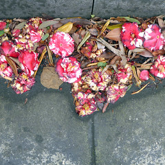 gutter (graeme37) Tags: gutter camellia camelliaflowers variegatedflowers rubbish