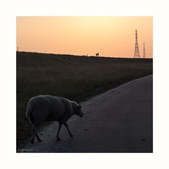 (rscholle) Tags: sheep sunset elbe deich