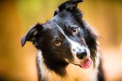 Your Word is my Command (JJFET) Tags: border collie dog dogs sheepdog herding