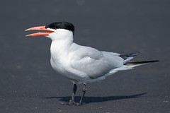 2018-07-19 Caspian Tern (JanetandPhil) Tags: birds nikon nikkor d800 800mmf56 collegeoflakecounty clc grayslakeil