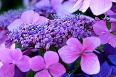 Luscious Lilac (acwills2014) Tags: lacecap purple lilac tone tones detail hydrangea flowers