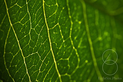 Green_Leaf - **Explored** (eightsix.photo) Tags: affinity affinityphoto art abstract canon closeup close colour composition dslr delicate england eightsixphoto focus green hampshire lines lookup leaf leaves minimal minimalism nature outdoor plant richcolour tree uk vibrance backlight backlit