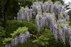 Abundance (Cathy de Moll) Tags: tree vine purple wisteria drooping abundance color garden japanese sanfrancisco greenery