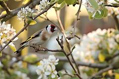 Goldfinch (Airwolfhound) Tags: baldock hertfordshire garden goldfinch blossom