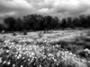 A Field of Flowers (Anne Worner) Tags: blackandwhite lensbaby bw bend blur landscape manualfocus manualfocuslens mono selectivefocus