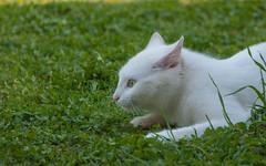Katty (07) (Vlado Ferenčić) Tags: katty catsdogs cats kittens vladimirferencic animals animalplanet nikond90 nikkor283003556 kitty hrvatska croatia zagorje klenovnik