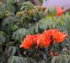 I think this is a Flame Tree (Delonix) (fuzzballmaster) Tags: costa rica san jose la sabana