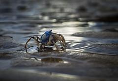 walking on mercury (gnarlydog) Tags: australia beach lowtide crab soldiercrab reflections adaptedlens manualfocus fujian35mmf17cmount shallowdepthoffield animal bokeh water sea foreshore contrejour backlit