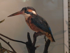 P4190123 (Steve Guess) Tags: horniman museum park grounds foresthill london england gb uk kingfisher