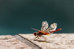 My little pool buddy (Jutta Sund) Tags: dragonfly red wings pool bokeh sunny