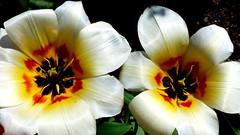 Białe tulipany. (andrzejskałuba) Tags: polska poland pieszyce dolnyśląsk silesia sudety europe panasoniclumixfz200 roślina plant kwiat flower tulipan tulip biały white zieleń green garden ogród natura nature macro yellow red color beautiful