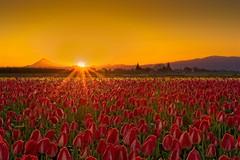 Tulip Field Sunrise 7243 D (jim.choate59) Tags: tulip field sunrise mthood jchoate on1pics oregon flowers spring d610 willamettevalley landscape portland pdx