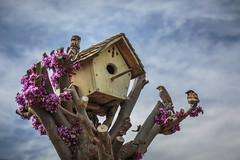 bird house-04-22-18-14 (Ken Folwell) Tags: birds trees redbud sparrow clouds idaho canon5dmkiii