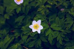 blommor (feras.jarghon) Tags: blommor green grön vit rosa dark helsingborg sofiero slott blomma sommar