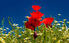 Cuando la vida es color (Jesus_l) Tags: europa españa valladolid provincia amapola floressilvestres jesúsl