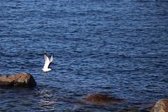 And wings up (liisatuulia) Tags: porkkala träskö