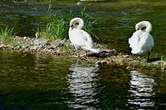 Busy (PinoyFri) Tags: tamron70300 nikond3400 schwäne schwan swan cygne swans cygnes 天鵝 svaner κύκνουσ noketura angsa reflexion