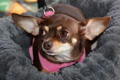 Los Angeles - Pink is the Way Forward ! (Drriss & Marrionn) Tags: losangelesca la california usa citytrip sky coast malibu tavern1 indoor dog dogs pet pets animal animals mammal mammals pink spoileddog