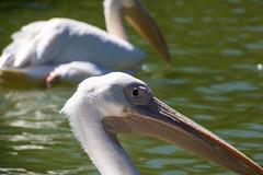 Pelicans, Karlsruhe Zoo (Rachel EMF) Tags: pelican bird karlsruhe