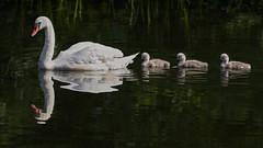 The Train (MrBlueSky*) Tags: swan cygnet bird animal nature wildlife outdoor water colour kewgardens royalbotanicgardens london pentax pentaxart pentaxlife pentaxawards pentaxflickraward pentaxk1mkii aficionados