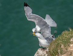 JWL6454  Kittiwakes.... (jefflack Wildlife&Nature) Tags: kittiwake kittiwakes birds avian wildlife wildbirds gulls cliffs bempton yorkshire seabirds sea seashore shorebirds countryside coastalbirds coastline coastal coast wildlifephotography jefflackphotography nature