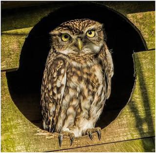 Little Owl watching