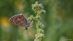 Brown Argus (Aricia agestis) (BraCom (Bram)) Tags: 169 bracom bramvanbroekhoven depthoffield dof goereeoverflakkee holland insect nederland netherlands southholland zuidholland butterfly dauw dew droplets druppels early macro morning ochtend plant vlinder vroeg widescreen summer zomer sommer estate verano été nl ariciaagestis bruinblauwtje brownargus sigma150mmf28macro