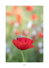 Red III (Mamat151) Tags: coquelicot