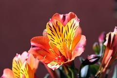 summer colours (overthemoon) Tags: france savoie 3vallées skiresort colourful flowers stmartindebelleville