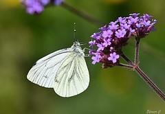 Green-veined white (Pieris napae) (Eleanor (No multiple invites please)) Tags: butterfly greenveinedwhitebutterfly verbena busheyrosegarden bushey uk nikond7200 105mmmacrolens july2018