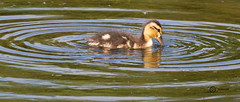Duckling (Low Barns) (simon.williams28) Tags: nature north east birds twitcher twitchers northumberlandwildlifetrust durhamwildlifetrust wildlife naturereserve lowbarnsnaturereserve gosforthparknaturereserve