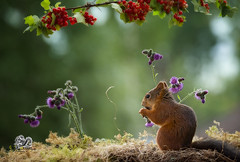 red squirrel standing with thistle flowers (Geert Weggen) Tags: flower animal animalbodypart animalhead balance beak beige brown nature outdoors photography plant seed small sweden thistle yellow purple lila rodent mammal squirrel red redcurrant fruit health bispgården jämtland geert weggen ragunda hardeko