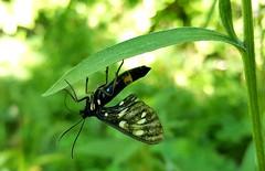 (_Sarocchia_) Tags: insetto insect natura nature green verde animal macro macrophotography macrofotografia nikon samsung black detail light colours colori luce sun justnature