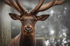 Carmen Loves the Spray (MTSOfan) Tags: carmen elk epz spray keepcool summertime antlers rack