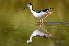 Black-necked Stilt (craig goettsch - out shooting) Tags: sanibel2018 blackneckedstilt stilt longlegs water reflection bird avian nature wildlife animals nikon d500