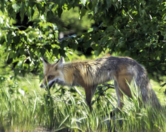 Coyote (Patchman 2, Thanks for 1 million views) Tags: coyote nikon tammy glacier