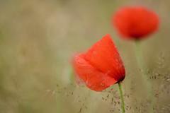 Poppy and rain drops. (agnieszka.a.morawska) Tags: summer bokehlicious beyondbokeh bkhq nature helios helios44m red flower meadow bokeh poppy