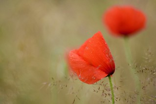 Poppy and rain drops.