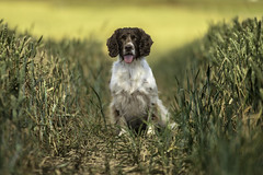 In field (Flemming Andersen) Tags: animal cocker outdoor spaniel yellow zigzag dog fields golden hund nature pet