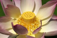 Lotosblume, indische / Indian lotus (Nelumbo nucifera) (HEN-Magonza) Tags: botanischergartenmainz mainzbotanicalgardens rheinlandpfalz rhinelandpalatinate detuschland germany flora indischelotosblume indianlotus nelumbonucifera