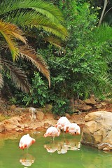 birds in the water :) (green_lover (I wait for your COMMENTS!)) Tags: flamingos birds animals junglepark tenerife canaryislands spain nature water pond travels four zoo reflections