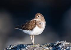 Common Sandpiper Mull 28-06-2018-5716 (seandarcy2) Tags: birds wildlife mull