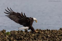 Eagle Landing VII (elliott845) Tags: haliaeetusleucocephalus eagle baldeagle raptor predator nature