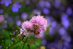 Flowers & Bokeh (Manoo Mistry) Tags: nikon nikond5500 tamron tamron18270mmzoomlens flowers fragrance purple bokeh