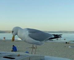 Giant Seagulls. (jenichesney57) Tags: