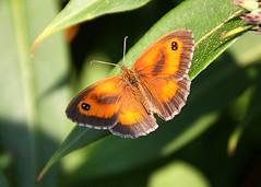 Gatekeeper Stutton Suffolk (Chris Baines) Tags: gatekeeper butterfly sutton suffolk